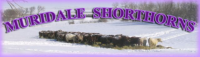 Muridale Shorthorns Heading